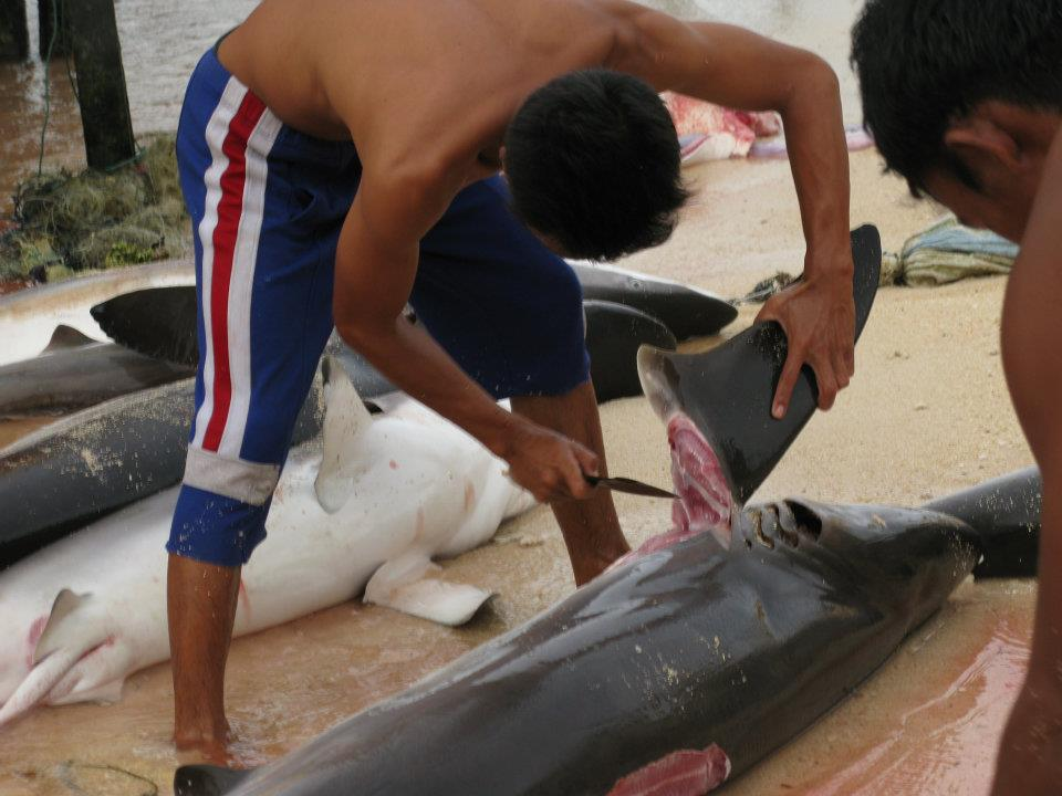 Shark Murder At Mabul Island